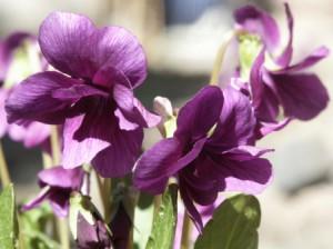 町屋館の花